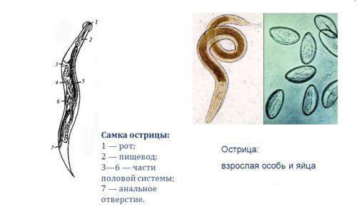 какие паразиты могут жить в человеке
