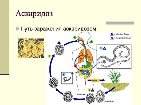 от паразитов в организме человека