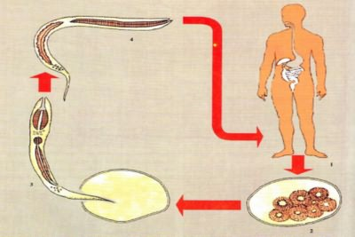 Жизненный цикл паразита анкилостомы