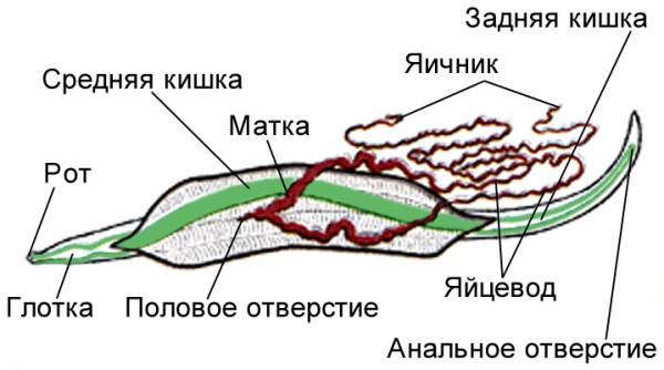 Покровы тела человеческой аскариды